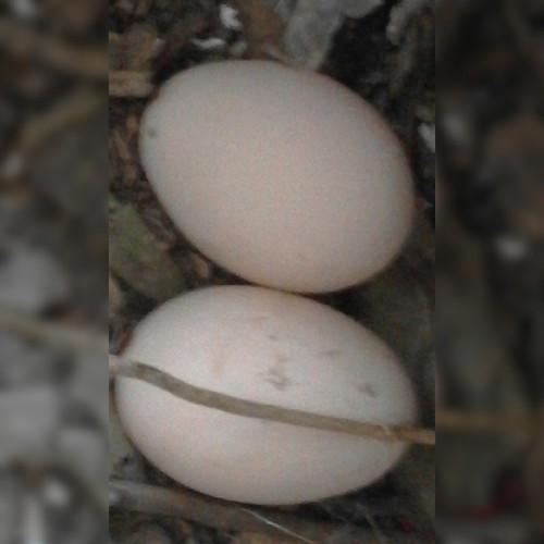 4_A2C_Ovos de galinha.jpg