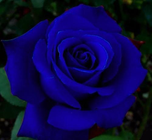 rosa-azul-e-feita-por-manipulacao-genetica-14 (1).