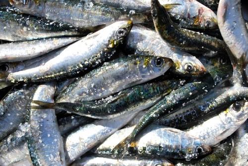 sardinhas-frescas-1[1].jpg
