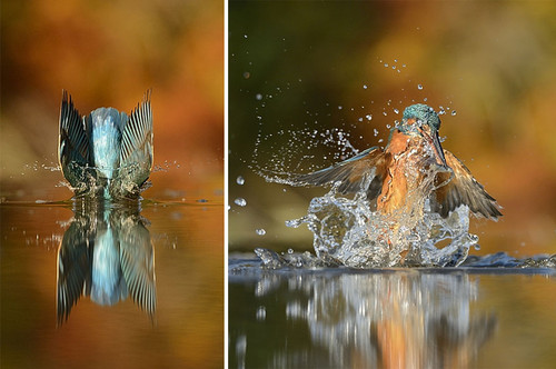 perfect-kingfisher-dive-photo-wildlife-photography