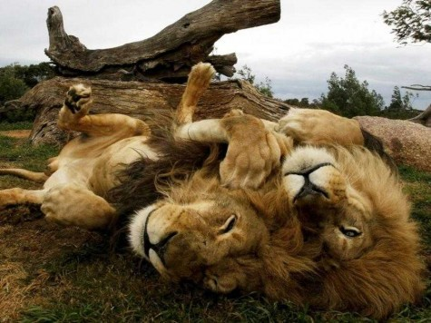 2012_07_lions-442867-475-356.jpg