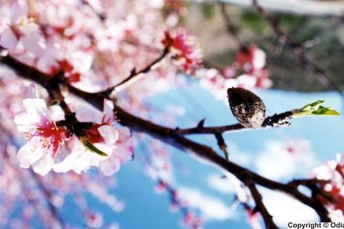 amendoeiras_flor_de_amendoeira.jpg