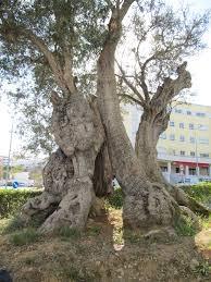 oliveira mais antiga.jpg