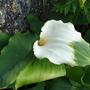 Zantedeschia_aethiopica_greenGoddess.jpg