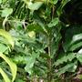 Macadamia _integrifolia.jpg