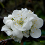 Prunus_domesticus.jpg