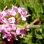 pelargonium1.jpg