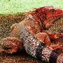 red-iguana1.jpg