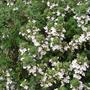 Thymus_vulgaris.jpg