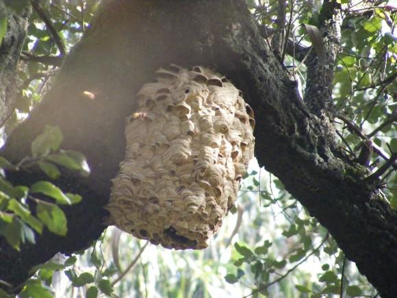 Ninho vespa asiatica 2