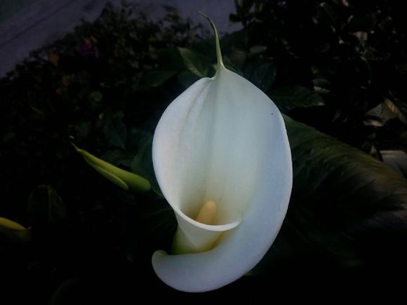 flor jarro