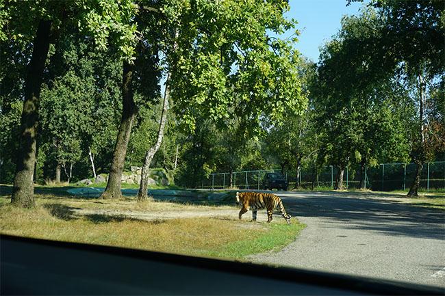 tiger_04_safaripark