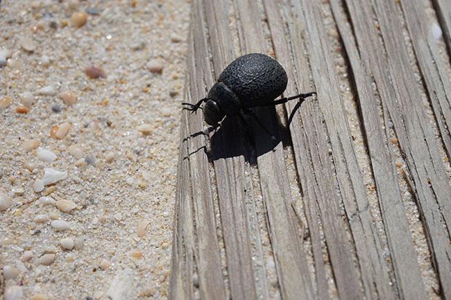 escaravelho.jpg