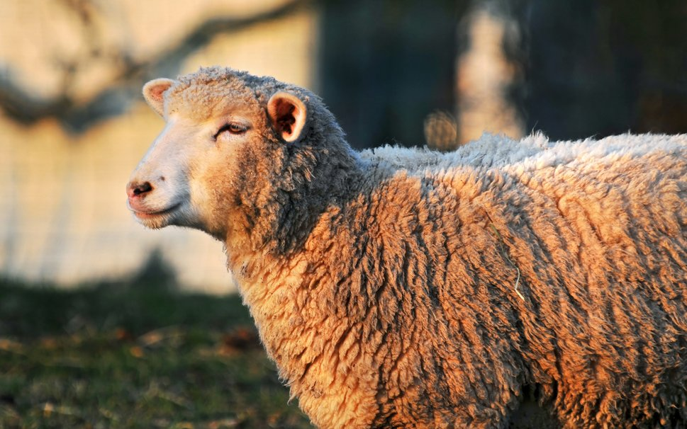 683726__sheep-profile-freewallpapers-wallpapers_p.
