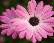 pink_flower-computer-background[1].jpg